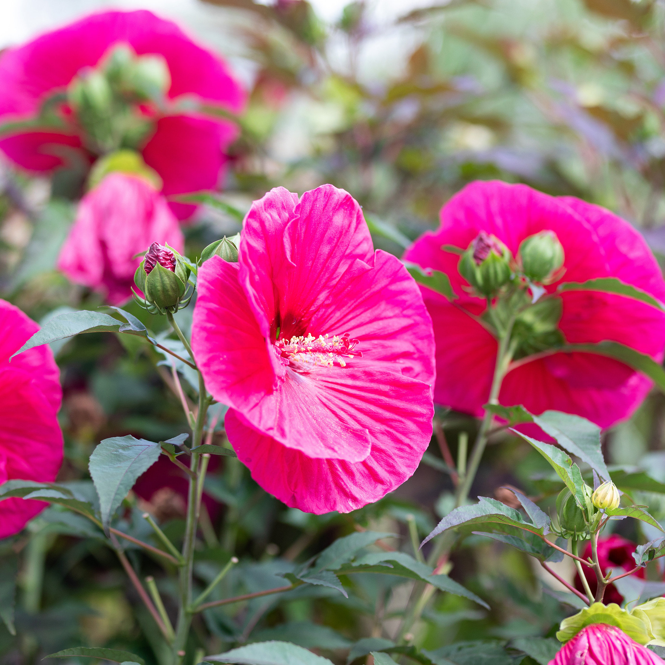 New in the Nursery: Herbaceous Hibiscus Plants