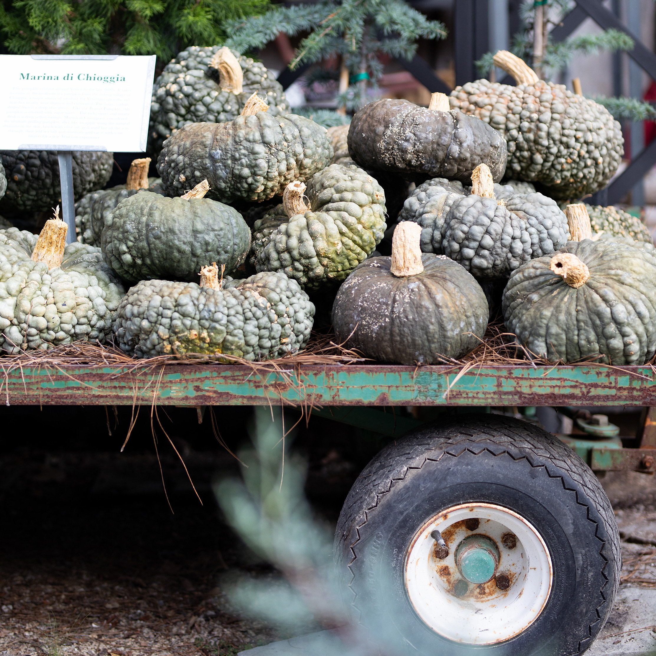 New in the Nursery: Pumpkins from Auction