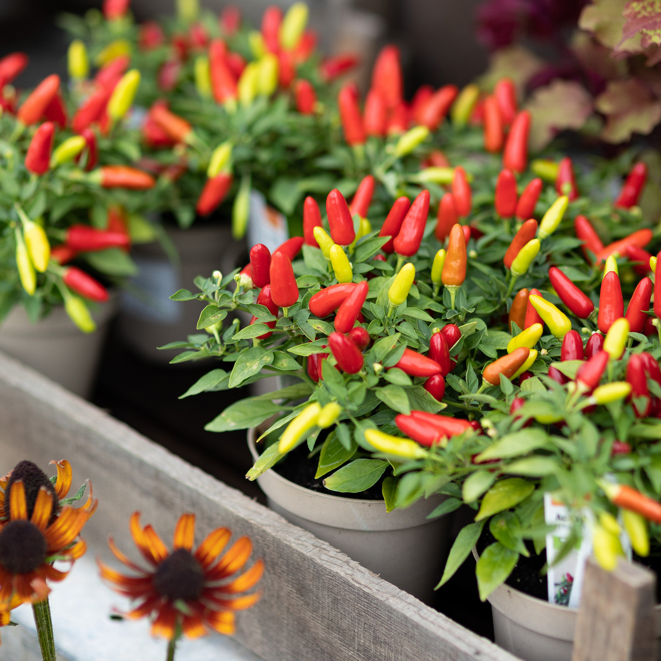New in the Nursery: Ornamental Peppers