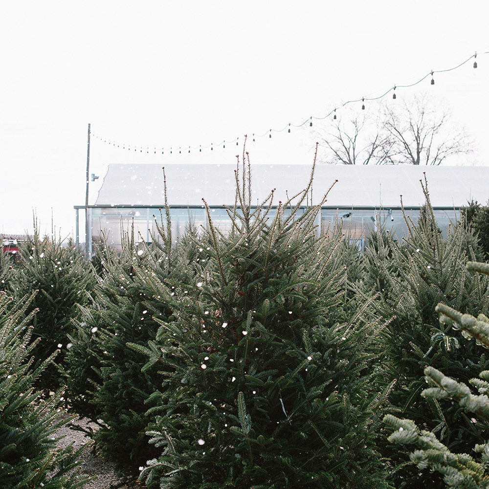 The Christmas Tree Lot Specimen Guide