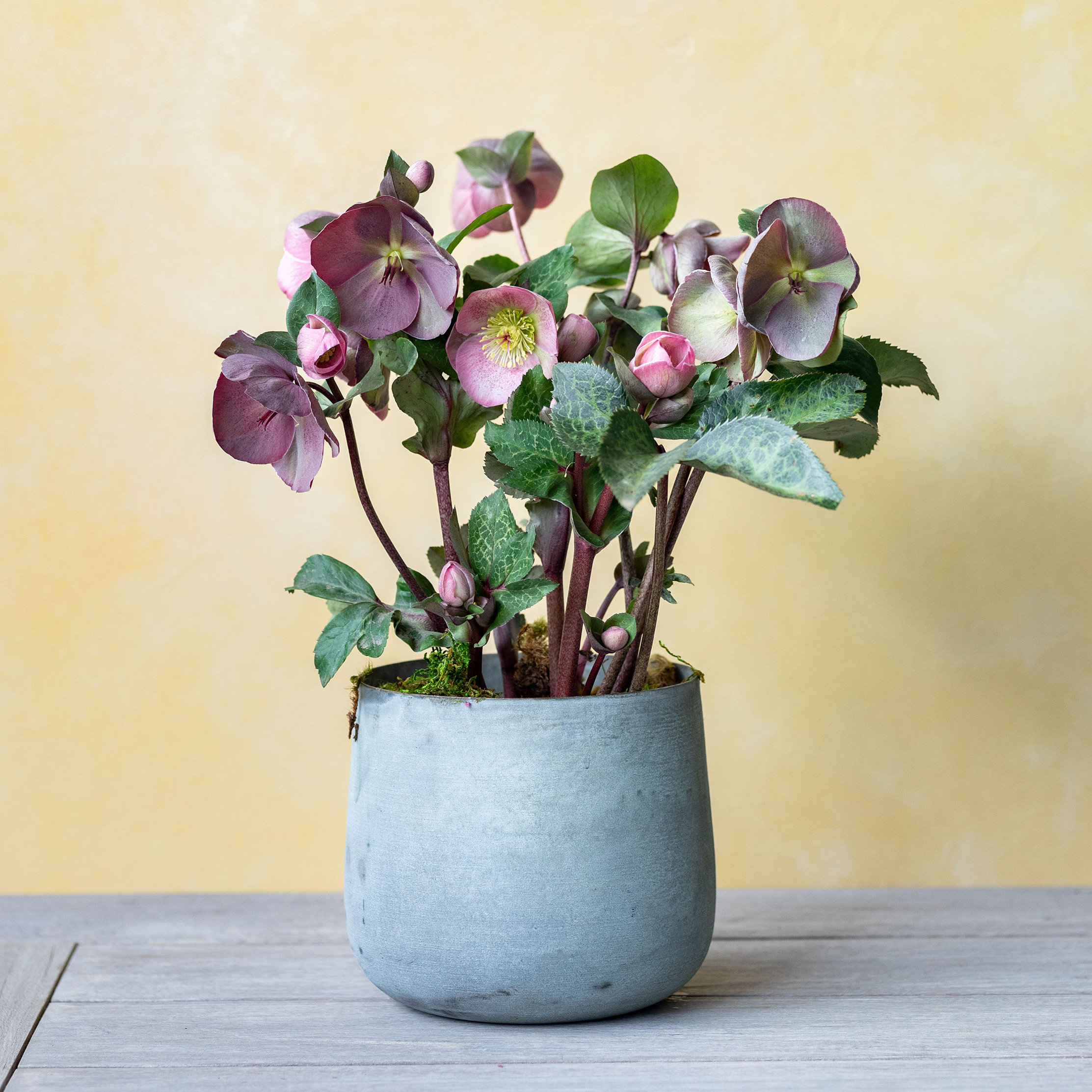 New in the Greenhouse: Potted Hellebore