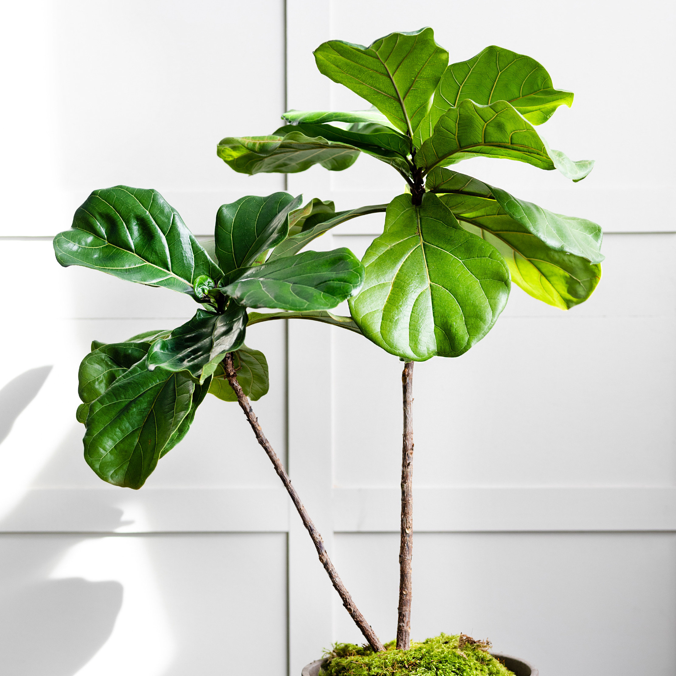 Houseplant Help: Cat's Fiddle Leaf Fig Comeback